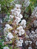 Solidago virgaurea ssp. asiatica