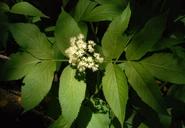 Sambucus racemosa var. melanocarpa