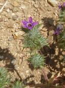 Navarretia hamata ssp. hamata
