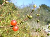 Lonicera subspicata var. subspicata