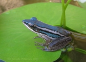 Blue Paddy Frog