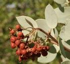Arctostaphylos viscida ssp. mariposa