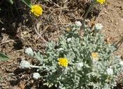 Chaenactis glabriuscula var. lanosa
