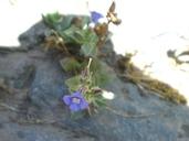 Stemodia durantifolia