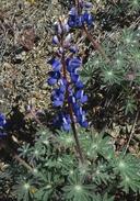 Lupinus spectabilis