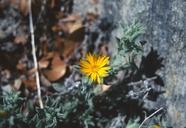 Heterotheca monarchensis
