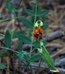 Lathyrus sulphureus