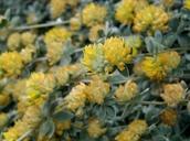 Lotus argophyllus var. fremontii