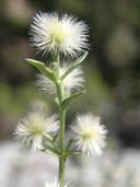 Galium serpenticum ssp. scotticum