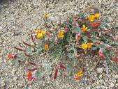 Acmispon argyraeus var. argyraeus