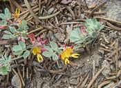Nevada Birdsfoot Trefoil