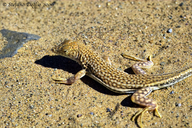 """also sometimes lumped in Acanthodactylus scutellatus, difficult group!<br /><strong>Location:</strong> Mecissi (Morocco)<br /><strong>Author:</strong> <a href=""""http://calphotos.berkeley.edu/cgi/photographer_query?where-name_full=Stefano+Doglio&one=T"""">Stefano Doglio</a>"""