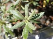 Eriogonum congdonii
