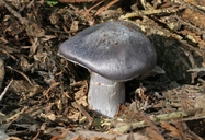 Midnight Blue Entoloma