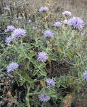 Monardella villosa ssp. villosa