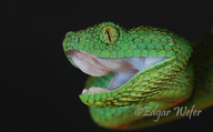 West African Leaf Viper