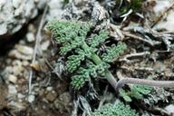 Lomatium foeniculaceum ssp. inyoense