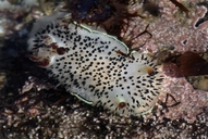 Black-tipped Spiny Dorid