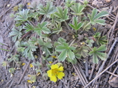 Potentilla wheeleri