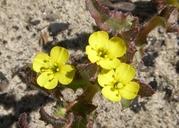 Camissoniopsis micrantha