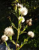 Symphyotrichum lentum