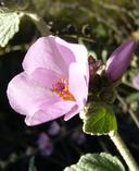 Malacothamnus hallii