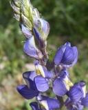 Lupinus sparsiflorus