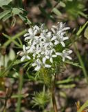 Navarretia leucocephala ssp. bakeri