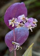 Streptanthus farnsworthianus