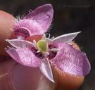 Calochortus amoenus