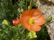 Sphaeralcea ambigua var. ambigua