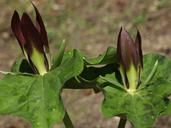 Trillium sp.