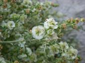 Ambrosia salsola