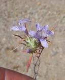 Eriastrum eremicum ssp. eremicum