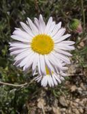 Erigeron concinnus var. concinnus