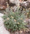 Descurainia pinnata ssp. glabra