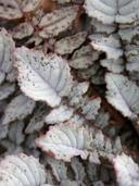 Chylismia walkeri ssp. tortilis