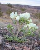 Mentzelia tricuspis