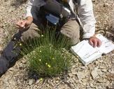 Menodora scabra var. glabrescens