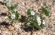 Cryptantha micrantha var. lepida