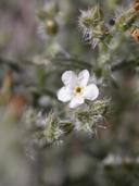 Cryptantha racemosa