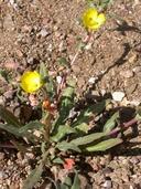 Camissoniopsis pallida ssp. hallii