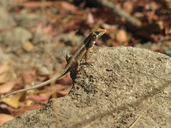 """Male crawling in leaf litter under a tree next to an unpaved road.<br /><strong>Location:</strong> Rio Grande, Municipality: Tututepec (Oaxaca, Mexico)<br /><strong>Author:</strong> <a href=""""http://calphotos.berkeley.edu/cgi/photographer_query?where-name_full=Vicente+Mata-Silva&one=T"""">Vicente Mata-Silva</a>"""