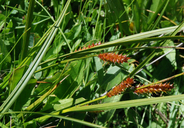 Carex vesicaria