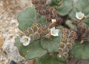 Phacelia neglecta
