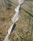 Elymus ponticus