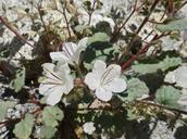 Phacelia longipes