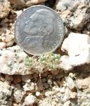 Cryptantha circumscissa var. rosulata