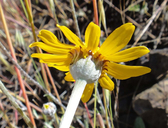 Eriophyllum lanatum var. achilleoides