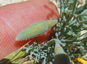 Eschscholzia lemmonii ssp. lemmonii
